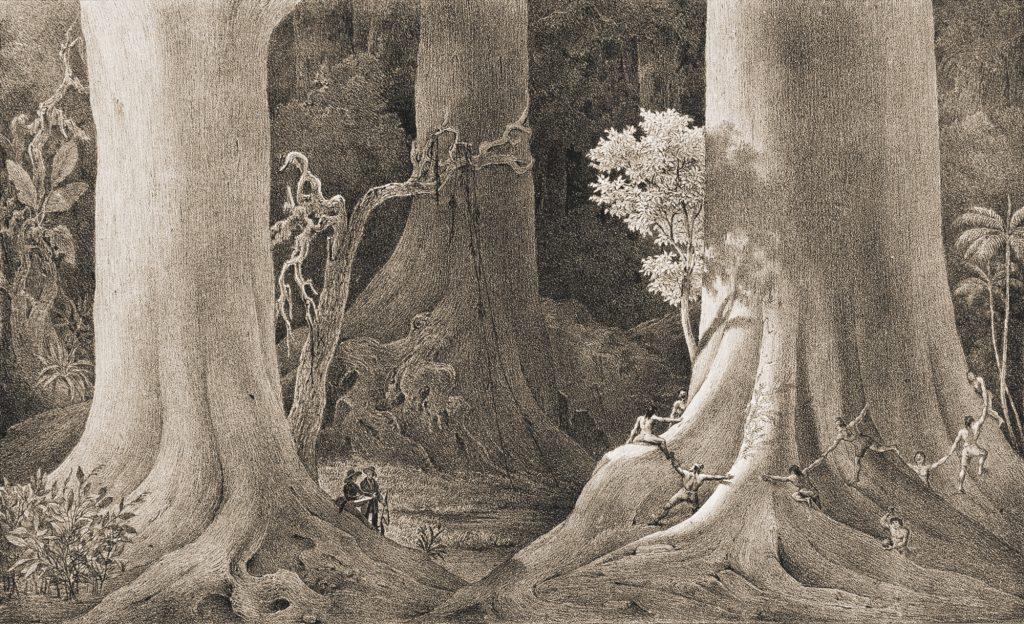 As árvores que nasceram antes de Cristo na floresta às margens do Rio Amazonas,c.1840 Carl Friedrich Philipp von Martius Litografia em preto e sépia sobre papel